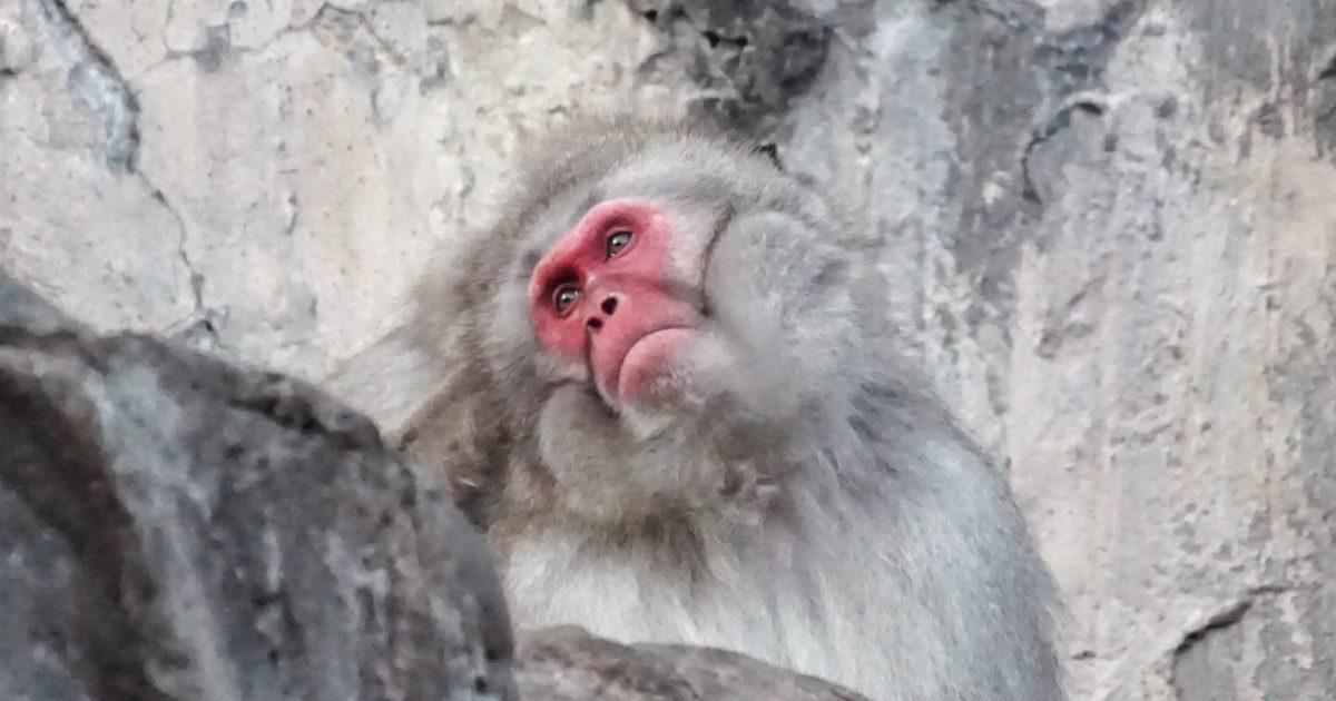 上野動物園2020年1月3日ニホンザル3-2