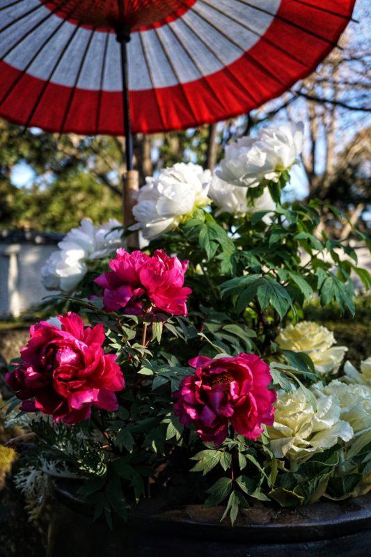 上野冬ぼたん2020年1月5日1